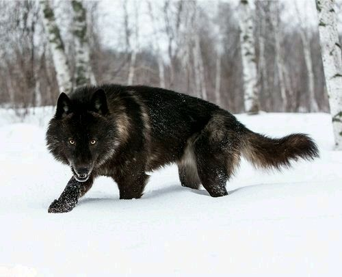The War on Wolves